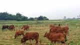 Nông dân khốn đốn vì giá bò giảm mạnh
