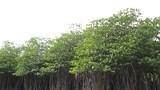 Nghệ An chỉ còn 713ha rừng ngập mặn