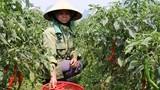 Doanh nghiệp nợ tiền thu mua ớt cay, người dân gặp khó