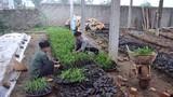 Ươm giống keo phục vụ trồng rừng
