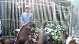 Nông dân Nghi Lộc thu nhập cao từ chăn nuôi dê