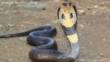 Nghệ An: Bé trai 11 tuổi bị rắn hổ mang cắn nguy kịch khi ra đồng bắt cua đêm cùng bố