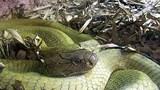 Bí ẩn rắn hổ mây miền Tây nặng trên 100 kg