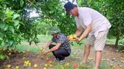 Đất nhiễm nấm gây bệnh, nhiều vùng ở Nghệ An ngừng trồng mới cam Vinh