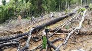 Đề nghị truy tố vợ chồng phá 3,6ha rừng phòng hộ