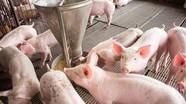 Thận trọng tái đàn vụ Tết do giá lợn hơi đang giảm