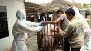Phát hiện thêm ổ dịch tả lợn châu Phi