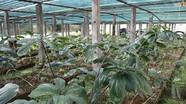 Bảo tồn các nguồn gen thảo dược và nhân sâm quý ở Nghệ An