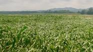 Gần 40 ha ngô ở Đô Lương bị đổ ngã sau trận mưa kèm gió lớn