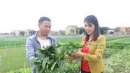 Trồng cải thảo dược từ hỗ trợ của JICA, nông dân Quỳnh Lưu thu khá