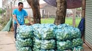 Thị xã Hoàng Mai lần đầu trồng su su theo quy trình VietGAP