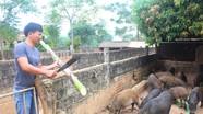 Cả làng thả nuôi lợn rừng Thái Lan, hàng năm mỗi hộ thu hàng trăm triệu đồng