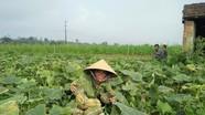 Trồng bí đỏ ven sông Lam thu lãi 100 triệu đồng/ha