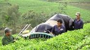 Vào chính vụ, giá chè ở Nghệ An giảm sâu do dịch Covid-19