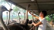Nông dân Nghệ An nuôi đà điểu thu mỗi năm 700 triệu đồng