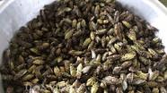 Bắt ve sầu đầu mùa làm món nhậu đặc sản