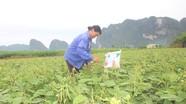 Giống cây trụ vững giữa nắng hạn miền Tây Nghệ An cho thu nhập cao