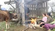 Người dân Nghệ An đốt củi sưởi ấm cho trâu, bò những ngày rét đậm