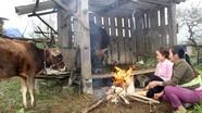 Hơn 400 con trâu, bò, lợn ở Nghệ An chết rét