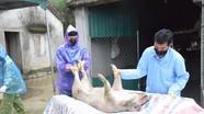 Dịch tả lợn châu Phi tái phát nhiều nơi ở Nghệ An