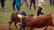 Đặc sắc hội chọi bò người Mông Nghệ An trong Ngày hội Đại đoàn kết