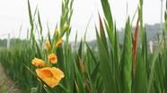 Con Cuông: Nhiều gia đình tự trồng hoa chơi Tết
