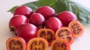 Con Cuông lần đầu tiên trồng thử nghiệm cà chua thân gỗ