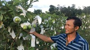 Nông dân Đô Lương thu nhập cao từ ổi lê Đài Loan trồng trên đất xấu