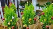 Tùng thơm đắt khách dịp Giáng sinh