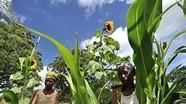 FAO: Cân bằng giới giúp giảm đói nghèo