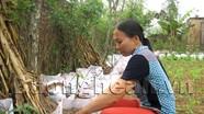 Quỳnh Vinh thử nghiệm trồng gừng trong bao