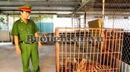 Công an Diễn Châu: Bắt giữ hai cá thể hổ nuôi nhốt trái phép