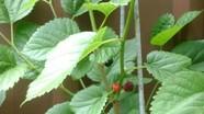 Bài thuốc hay từ sâu của cây dâu