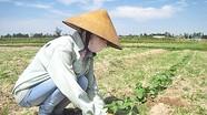 Cây dưa bở trên đất Nghi Thạch