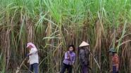 Bản Boong - Mùa thu hoạch mía