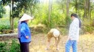 Người nhân giống cây rễ hương ở Quỳ Châu