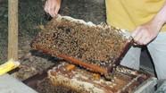Nghề nuôi ong dạo