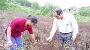 Nông dân Anh Sơn cứu chè sau mưa