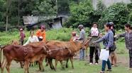 Tương Dương: Tặng bò giống cho hộ nghèo biên giới Tam Quang
