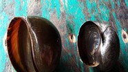 Mẹo phân biệt ốc biêu vàng và ốc nhồi đơn giản