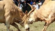 Đặc sắc hội chọi bò của người Mông
