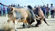 Những pha chọi trâu, bò hấp dẫn ở Kỳ Sơn