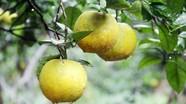 4 Đô la không mua nổi quả cam Xã Đoài nức tiếng