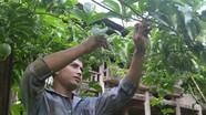 Nghệ An: Hộ nghèo được trợ giá giống chanh leo 100%