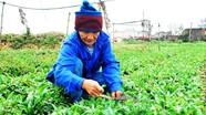Diễn Thái (Diễn Châu): Trồng rau mùi tàu đạt 90 triệu đồng/ha.