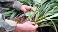 Quỳnh Thắng phát triển diện tích cây rễ hương