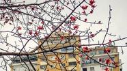 Mùa hoa gạo phố Vinh