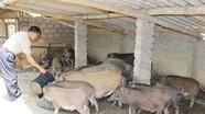 Thu nhập 500 triệu đồng mỗi năm từ nuôi lợn rừng