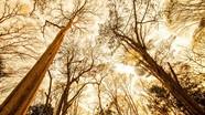 Ngẩn ngơ vẻ đẹp rừng săng lẻ Nghệ An