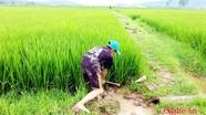 Mưa vàng cứu hàng ngàn ha lúa ở thoát hạn